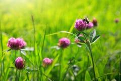 Abeja en campo de flores del trébol Imagen de archivo libre de regalías