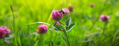 Abeja en campo de flores del trébol Fotos de archivo libres de regalías