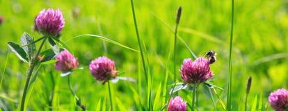 Abeja en campo de flores del trébol Imágenes de archivo libres de regalías