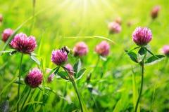 Abeja en campo de flores del trébol Imagenes de archivo