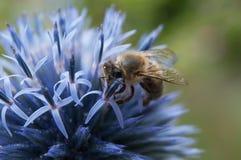 abeja en cardo en un campo Fotos de archivo libres de regalías
