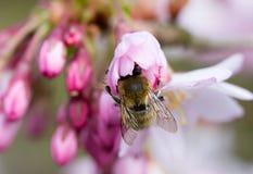 Abeja en cereza de la flor de la primavera Imagenes de archivo