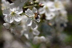 Abeja en cereza de los flores Fotos de archivo libres de regalías