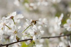 Abeja en cerezo floreciente Imágenes de archivo libres de regalías
