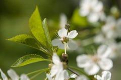 Abeja en cerezo floreciente Fotografía de archivo