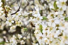 Abeja en Cherry Tree Flowers Fotos de archivo libres de regalías