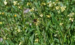 Abeja en cierre amarillo de la flor encima de la macro mientras que recoge el polen Foto de archivo