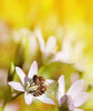Abeja en cierre de la flor blanca encima de la macro mientras que recoge el polen encendido o Fotografía de archivo libre de regalías