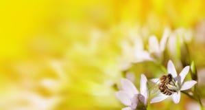 Abeja en cierre de la flor blanca encima de la macro mientras que recoge el polen encendido o Imagen de archivo