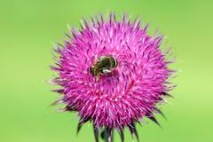 Abeja en cierre de la flor de la bardana para arriba Imagenes de archivo