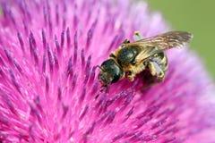 Abeja en cierre de la flor para arriba Foto de archivo libre de regalías
