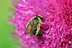Abeja en cierre de la flor para arriba Imagenes de archivo