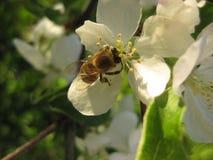 Abeja en cierre de la flor para arriba Con una flor blanca la abeja recoge el néctar Foto de archivo libre de regalías