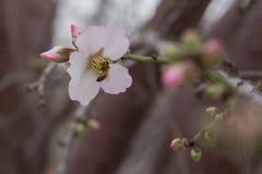 Abeja en cierre del flor de la almendra de la flor encima de la floración temprana de la primavera del fondo Fotografía de archivo libre de regalías