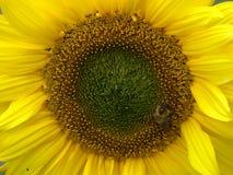 Abeja en cierre para arriba del girasol amarillo brillante Fotos de archivo libres de regalías