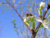 Abeja en ciruelo de los flowerses Fotografía de archivo libre de regalías