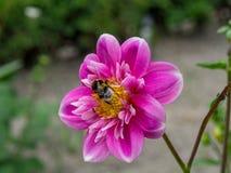 Abeja en colector de la flor Fotos de archivo libres de regalías