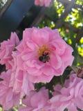 Abeja en color de rosa Imagenes de archivo