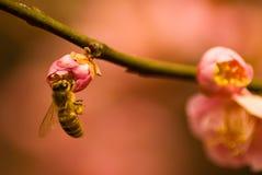 Abeja en color de rosa Imagen de archivo