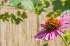 Abeja en coneflower en el jardín Fotografía de archivo