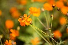 Abeja en Coreopsis anaranjado Fotos de archivo libres de regalías