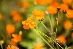 Abeja en Coreopsis anaranjado Imagen de archivo libre de regalías