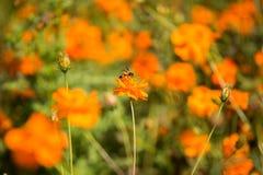 Abeja en Coreopsis anaranjado Foto de archivo libre de regalías