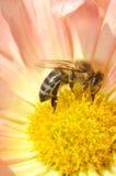 Abeja en crisantemo Fotos de archivo libres de regalías