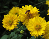 Abeja en crisantemo Foto de archivo