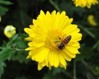 Abeja en crisantemo Fotografía de archivo