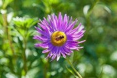 Abeja en crisantemo púrpura Imágenes de archivo libres de regalías