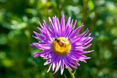 Abeja en crisantemo púrpura Imagen de archivo