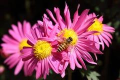 Abeja en crisantemo rosado Imagenes de archivo