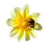 Abeja en dalia amarilla Imagen de archivo libre de regalías