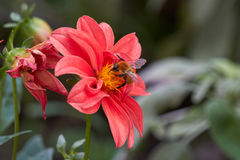Abeja en dalia en el jardín Imagen de archivo