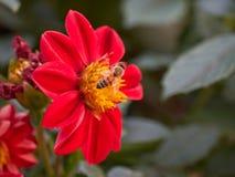 Abeja en dalia en el jardín Fotografía de archivo