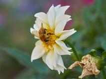 Abeja en dalia en el jardín Imagen de archivo libre de regalías