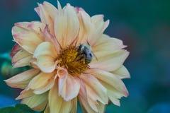 Abeja en dalia en el jardín Foto de archivo libre de regalías