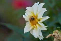 Abeja en dalia en el jardín Imagenes de archivo