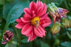 Abeja en dalia en el jardín Fotos de archivo libres de regalías