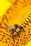 Abeja en de la flor de la vertical macro extremadamente Fotos de archivo libres de regalías
