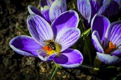 Abeja en a de una flor violeta de la primavera Fotografía de archivo