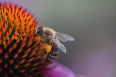 Abeja en Echinacea Foto de archivo