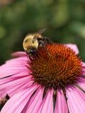 Abeja en Echinacea Fotos de archivo libres de regalías