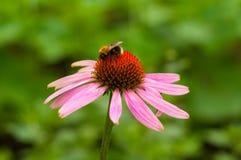 Abeja en Echinacea Fotografía de archivo libre de regalías