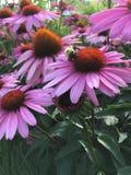 Abeja en Echinacea imagen de archivo