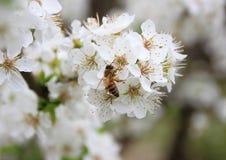 Abeja en el árbol de la flor blanca cubierto con néctar Fotografía de archivo libre de regalías