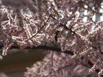 Abeja en el árbol del tamarix Fotografía de archivo libre de regalías