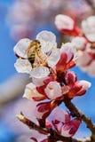 Abeja en el albaricoque floreciente Fotos de archivo libres de regalías