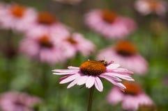 Abeja en el alcohol rosado de Cheyenne del echinacea en un parque urbano Imagen de archivo libre de regalías